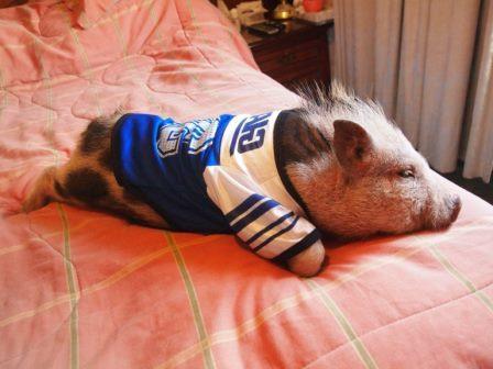 foto mini cerdo