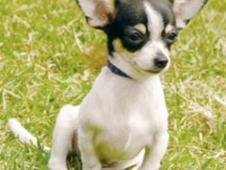 El Chihuahua es considerado la raza más pequeña del mundo
