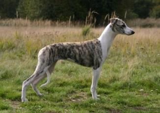 El Whippet es el perro más rápido que existe