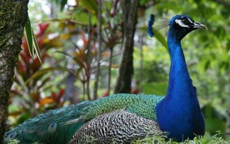 El Pavo Real el ave mas linda