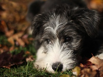 foto de comportamiento del Bearded Collie