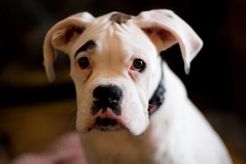 foto de perro boxer blanco