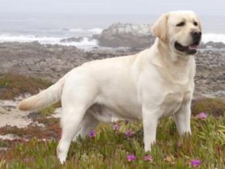 Foto de El Envejecimiento en el Perro Labrador