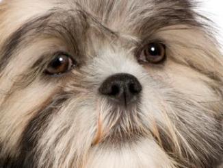 Foto de Puede un perro tener conjuntivitis