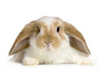 Cómo cuidar las orejas de un conejo