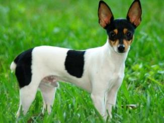 Foto de Fox Terrier chileno