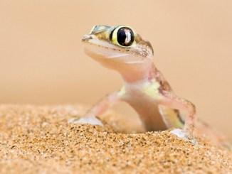 El Gecko un exótico lagarto que se utiliza como mascota doméstica