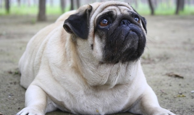 Qué hacer frente al perro obeso o con sobrepeso