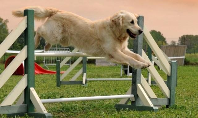 perros deportistas razas caninos deporte