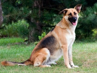Puede un perro padecer artrosis
