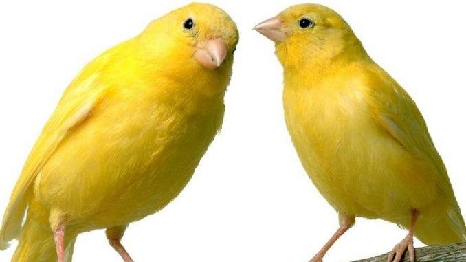 Consejos de alimentación para canarios