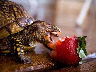 8 pasos para que alimentes a tu tortuga terrestre