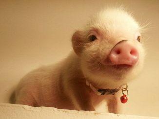 Cúal es el origen de los mini cerdos