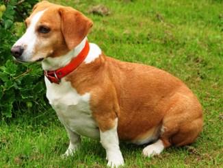 Drever perro sabueso