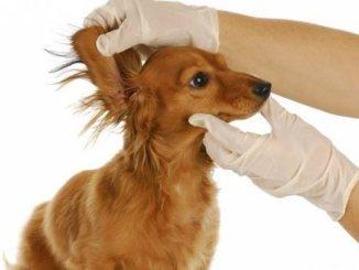 Sentido del oído del perro