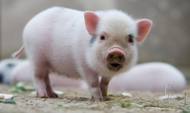 Cómo alimentar un mini cerdo mascota