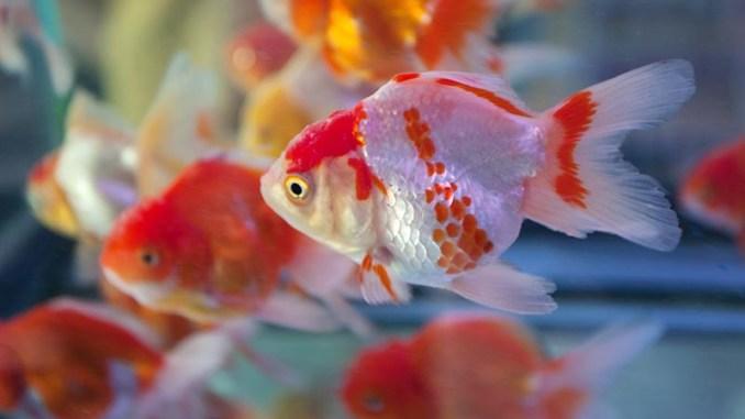 Algunas enfermedades comunes en los peces domésticos