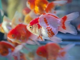 Cuidados de un pez de agua fría