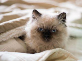 Gato de raza Himalayo