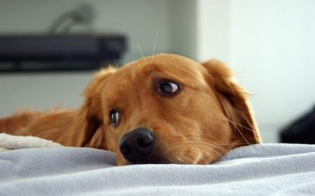 Qué es la Babesiosis Canina