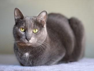 Gato Raza Korat Oriental