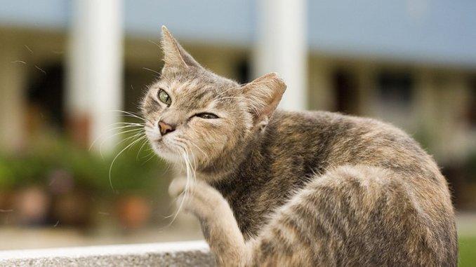 Consejos para Eliminar las Pulgas de mi Gato