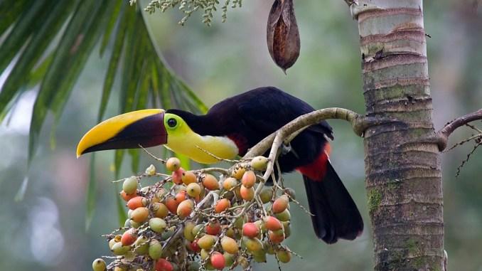 qué clase de frutas come el Tucán