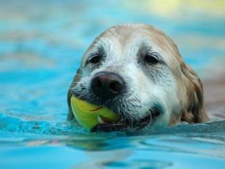 Razas de Perros Buenos Nadadores