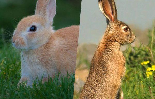 Diferencias entre Liebre y Conejo