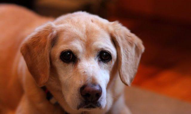 Cómo Saber Cuando Comienza a Envejecer la Mente del Perro