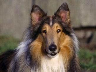 Información Sobre el Perro Collie