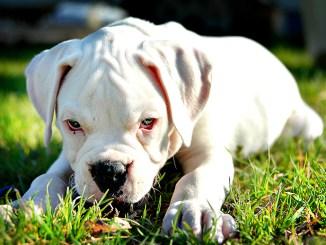 Origen del Perro Boxer Blanco