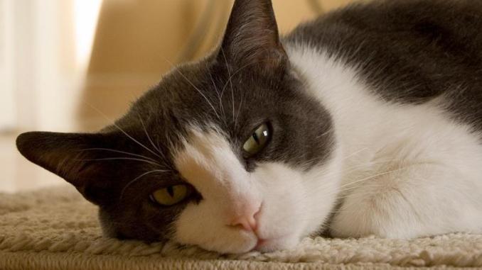 Principales Signos de Fiebre en los Gatos