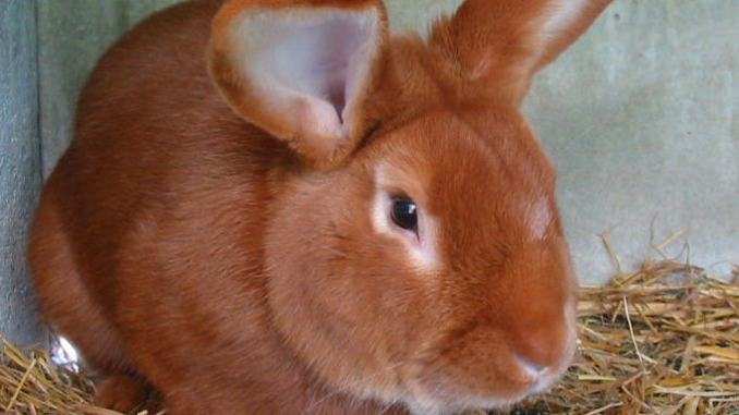 Conejo Raza Leonado de Borgoña