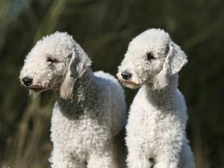Imágenes de la Raza Bedlington Terrier o Perro Oveja