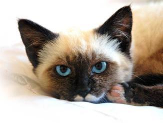 Cuáles son las razas de gatos más bonitas del mundo