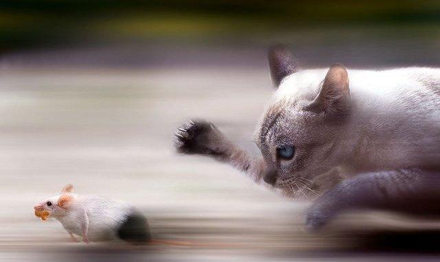 Cómo Enseñar a tu Gato a Cazar Ratones