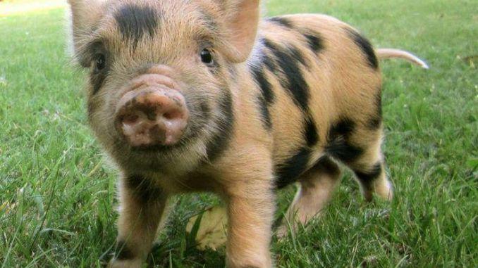 Qué le Puedo Dar de Comer a mi Mini Pig