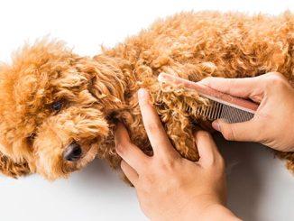 Cómo Alisar el Pelo a un Caniche