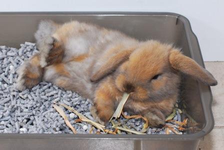 Enseñando al conejo a utilizar una bandeja sanitaria
