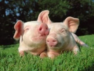 Origen de los mini pig también llamados mini cerdos