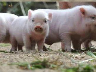 Qué son los mini cerdos