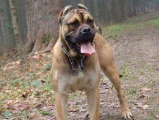 Te contamos acerca de una bellísima raza canina el alano español