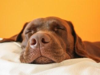 Los Perros Sueñan Cuando Duermen