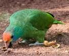 Amazona-Coronirroja-(7)