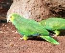 Amazona-de-hombro-gualda-(6)