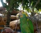 Amazona-de-hombro-gualda-(9)
