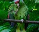 Amazona-Guayabera-(2)