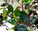 Amazona-vittata-(9)