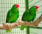 Amazona-Tamaulipeca-(3)